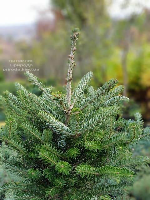 Ялиця корейська Сілберлок (Abies koreana Silberlocke) ФОТО Розплідник рослин Природа (5)