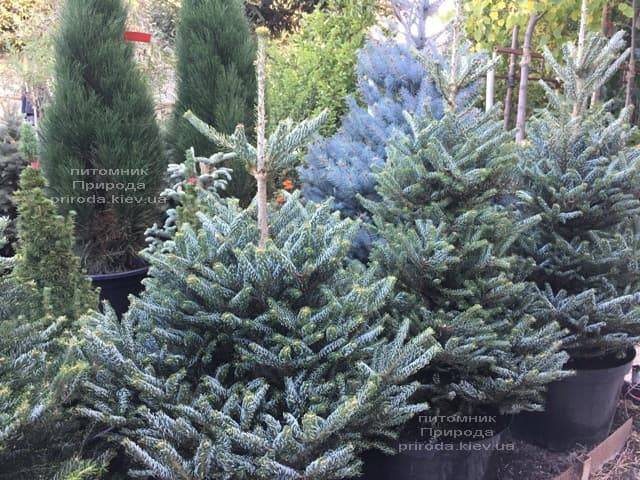 Ялиця корейська Сілберлок (Abies koreana Silberlocke) ФОТО Розплідник рослин Природа (6)