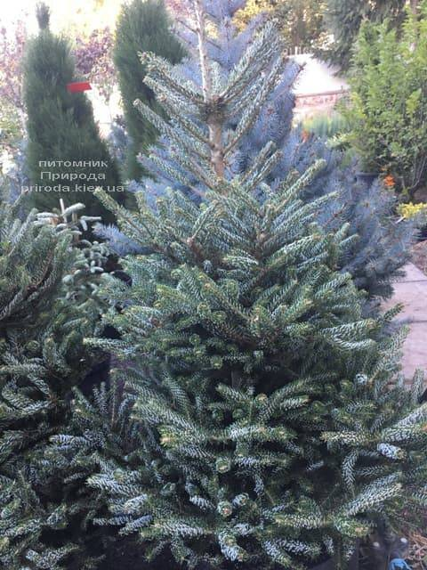 Ялиця корейська Сілберлок (Abies koreana Silberlocke) ФОТО Розплідник рослин Природа (7)