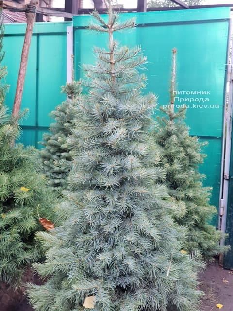 Пихта одноцветная (Abies Concolor) ФОТО Питомник растений Природа (1)