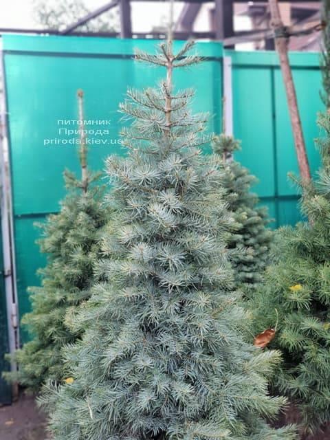 Ялиця одноколірна (Abies Concolor) ФОТО Розплідник рослин Природа (2)