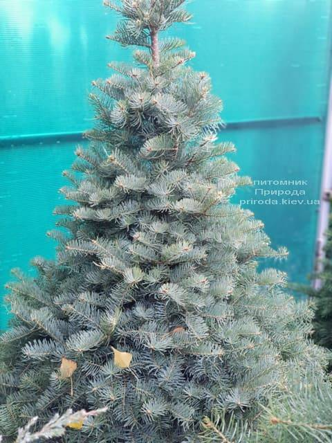 Пихта одноцветная (Abies Concolor) ФОТО Питомник растений Природа (3)