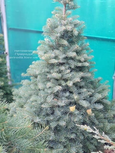 Пихта одноцветная (Abies Concolor) ФОТО Питомник растений Природа (4)