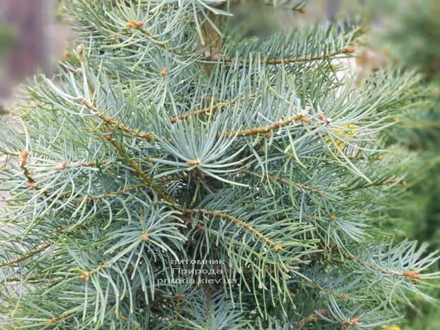 Ялиця одноколірна (Abies Concolor) ФОТО Розплідник рослин Природа (5)