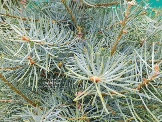 Пихта одноцветная (Abies Concolor) ФОТО Питомник растений Природа (7)