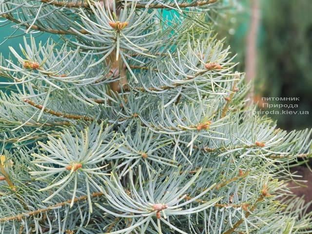 Ялиця одноколірна (Abies Concolor) ФОТО Розплідник рослин Природа (8)