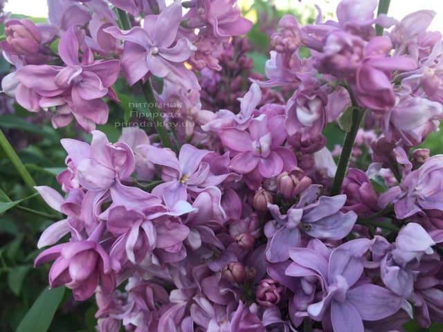 Бузок Богдан Хмельницький (Syringa vulgaris Bogdan Khmelnitskiy) ФОТО Розплідник рослин Природа (4)