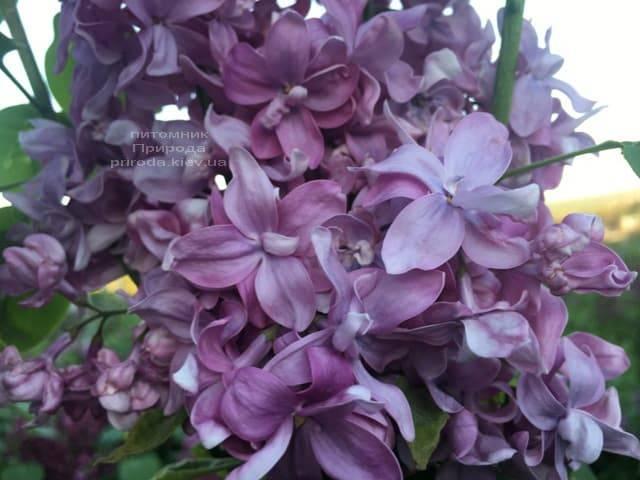 Бузок Богдан Хмельницький (Syringa vulgaris Bogdan Khmelnitskiy) ФОТО Розплідник рослин Природа (5)