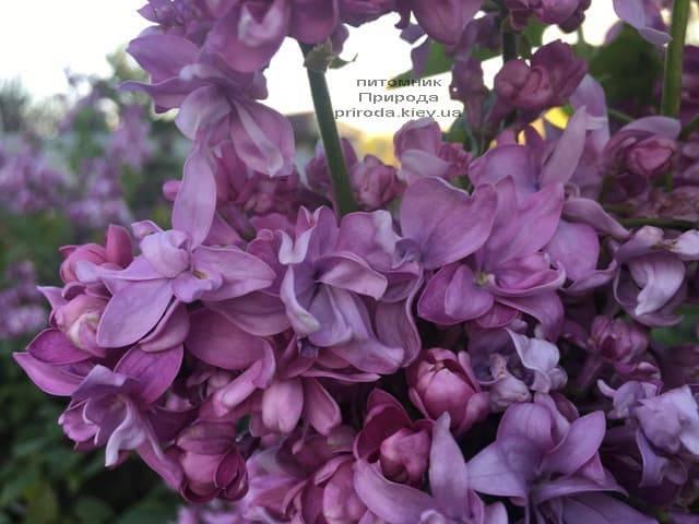 Бузок Богдан Хмельницький (Syringa vulgaris Bogdan Khmelnitskiy) ФОТО Розплідник рослин Природа (6)