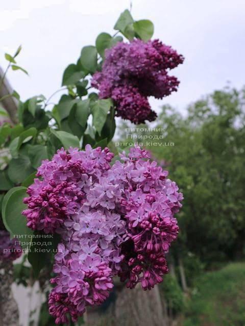 Бузок Індія (Syringa vulgaris Indiya) ФОТО Розплідник рослин Природа (1)