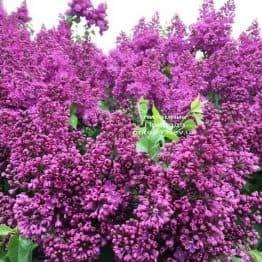 Сирень Индия (Syringa vulgaris Indiya) ФОТО Питомник растений Природа (2)