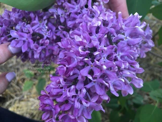 Сирень Карл 10 (Syringa vulgaris Karl 10) ФОТО Питомник растений Природа (1)