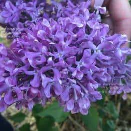 Сирень Карл 10 (Syringa vulgaris Karl 10) ФОТО Питомник растений Природа (2)