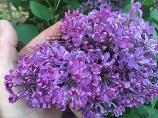 Сирень Карл 10 (Syringa vulgaris Karl 10) ФОТО Питомник растений Природа (3)