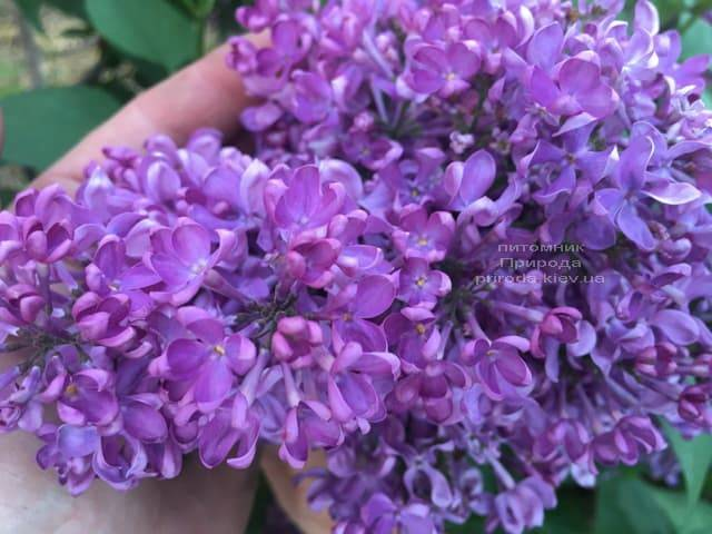 Сирень Карл 10 (Syringa vulgaris Karl 10) ФОТО Питомник растений Природа (5)