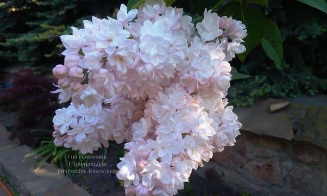 Сирень Красавица Москвы (Syringa vulgaris Krasawica Moskwy) ФОТО Питомник растений Природа (10)
