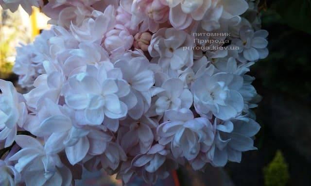 Сирень Красавица Москвы (Syringa vulgaris Krasawica Moskwy) ФОТО Питомник растений Природа (12)