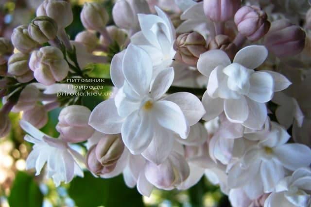 Сирень Красавица Москвы (Syringa vulgaris Krasawica Moskwy) ФОТО Питомник растений Природа (6)