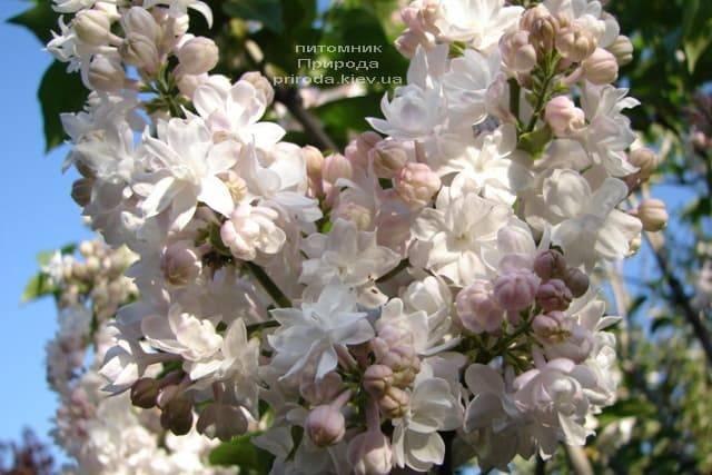 Сирень Красавица Москвы (Syringa vulgaris Krasawica Moskwy) ФОТО Питомник растений Природа (8)