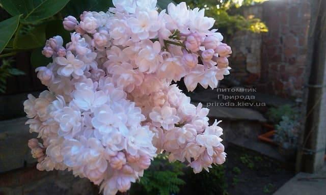 Сирень Красавица Москвы (Syringa vulgaris Krasawica Moskwy) ФОТО Питомник растений Природа (9)