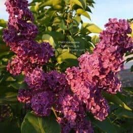 Сирень Красная Москва (Syringa vulgaris Krasnaja Moskva) ФОТО Питомник растений Природа (1)