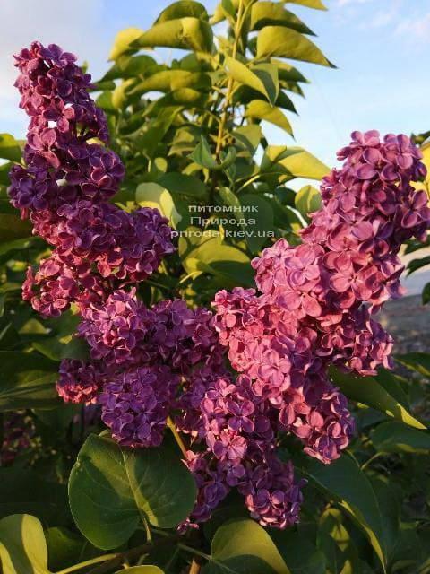 Бузок Червона Москва (Syringa vulgaris Krasnaja Moskva) ФОТО Розплідник рослин Природа (1)