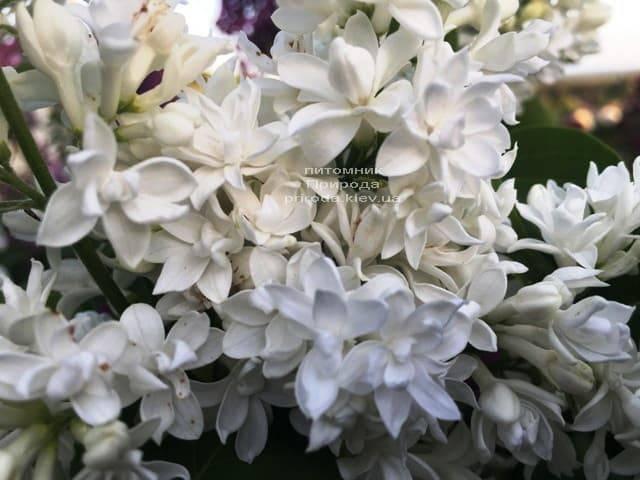 Сирень обыкновенная Леся Украинка (Syringa vulgaris Lesya Ukrainka ) ФОТО Питомник растений Природа (9)