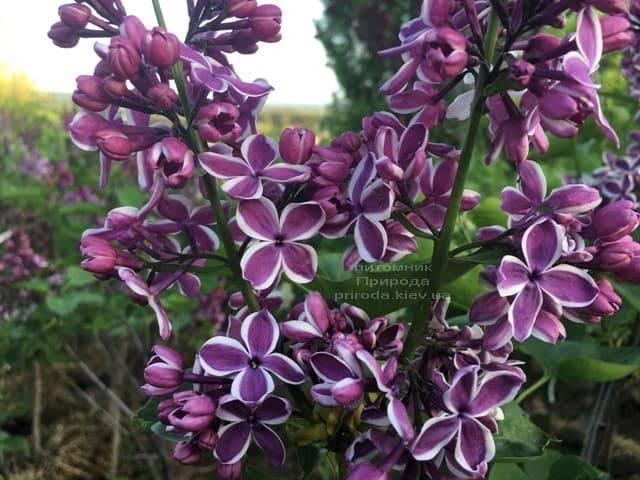 Сирень Сенсация (Syringa vulgaris Sensation) ФОТО Питомник растений Природа (10)