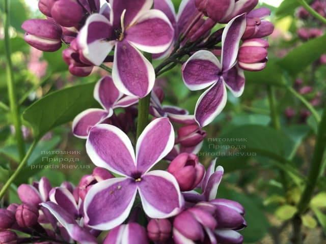 Сирень Сенсация (Syringa vulgaris Sensation) ФОТО Питомник растений Природа (9)