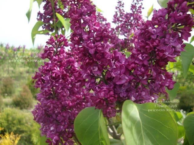 Бузок Шарль Жолі (Syringa vulgaris Charles Joly) ФОТО Розплідник рослин Природа (2)