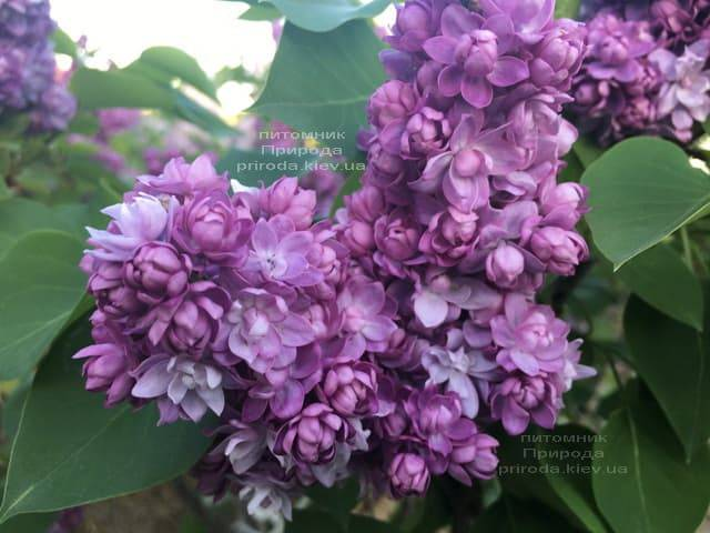 Сирень Тарас Бульба (Syringa vulgaris Taras Bulba) ФОТО Питомник растений Природа (4)