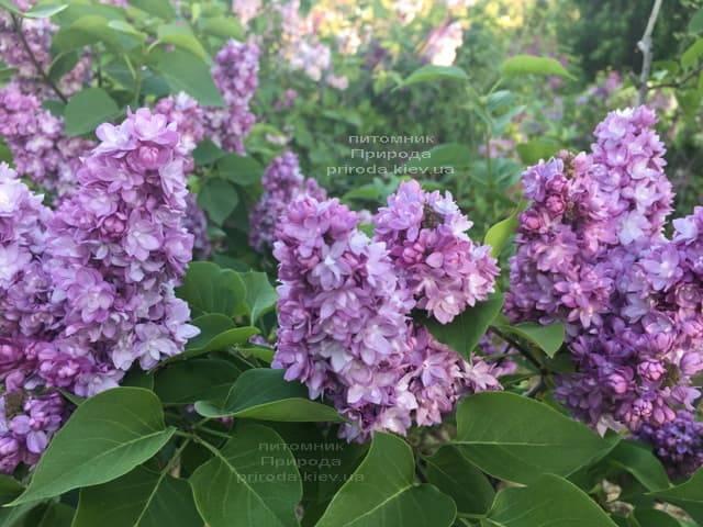 Сирень Тарас Бульба (Syringa vulgaris Taras Bulba) ФОТО Питомник растений Природа (5)