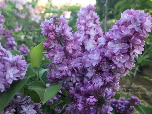 Сирень Тарас Бульба (Syringa vulgaris Taras Bulba) ФОТО Питомник растений Природа (6)