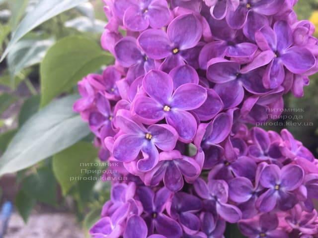 Сирень Знамя (Syringa vulgaris Znamja) ФОТО Питомник растений Природа (1)