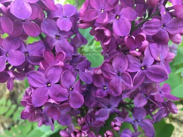 Сирень Знамя (Syringa vulgaris Znamja) ФОТО Питомник растений Природа (5)