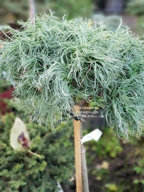 Сосна Веймутова Грин Твист (Pinus strobus Green Twist) на штамбе ФОТО Питомник растений Природа (1)