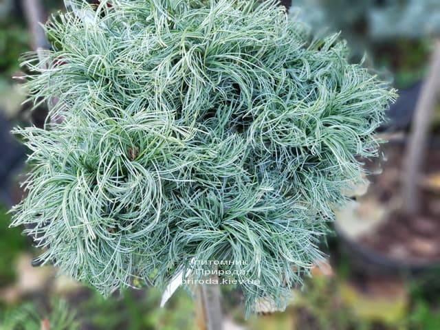 Сосна Веймутова Грин Твист (Pinus strobus Green Twist) на штамбе ФОТО Питомник растений Природа (3)
