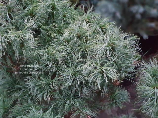 Сосна Веймутова Тайни Керлз (Pinus strobus Tiny Curls) ФОТО Питомник растений Природа (8)