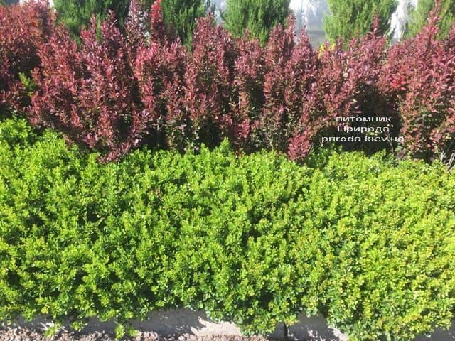 Барбарис Тунберга Кобольд (Berberis thunbergii Kobold) ФОТО Розплідник рослин Природа (1)