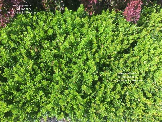 Барбарис Тунберга Кобольд (Berberis thunbergii Kobold) ФОТО Розплідник рослин Природа (2)