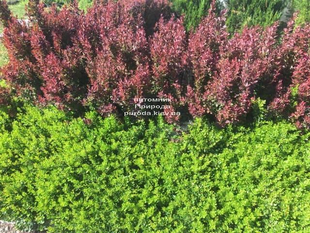 Барбарис Тунберга Кобольд (Berberis thunbergii Kobold) ФОТО Розплідник рослин Природа (3)