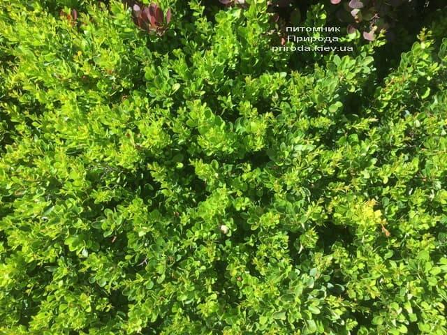 Барбарис Тунберга Кобольд (Berberis thunbergii Kobold) ФОТО Розплідник рослин Природа (4)