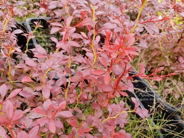 Барбарис Тунберга Оранж Дрим (Berberis thunbergii Orange Dream) ФОТО Питомник растений Природа (1)