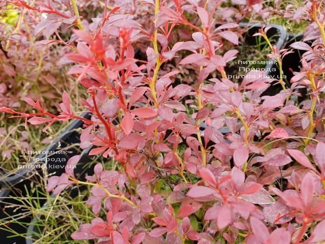 Барбарис Тунберга Оранж Дрім (Berberis thunbergii Orange Dream) ФОТО Розплідник рослин Природа (2)