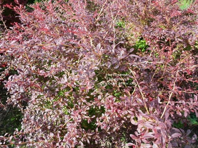 Барбарис Тунберга Оранж Дрім (Berberis thunbergii Orange Dream) ФОТО Розплідник рослин Природа (4)