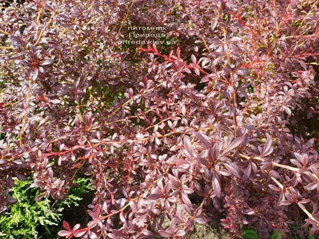 Барбарис Тунберга Оранж Дрим (Berberis thunbergii Orange Dream) ФОТО Питомник растений Природа (5)