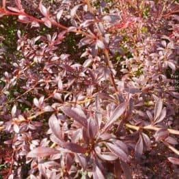 Барбарис Тунберга Оранж Дрим (Berberis thunbergii Orange Dream) ФОТО Питомник растений Природа (6)