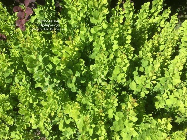 Барбарис Тунберга Паувау (Поувов) (Berberis Thunbergii Powwow) ФОТО Питомник растений Природа (1)
