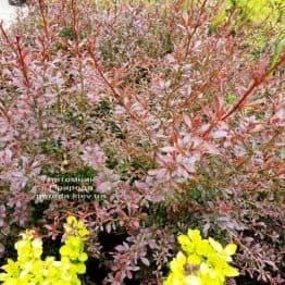Барбарис Тунберга Ред Дрим (Berberis thunbergii Red Dream) ФОТО Питомник растений Природа (4)