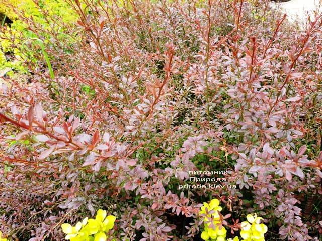 Барбарис Тунберга Ред Дрим (Berberis thunbergii Red Dream) ФОТО Питомник растений Природа (5)